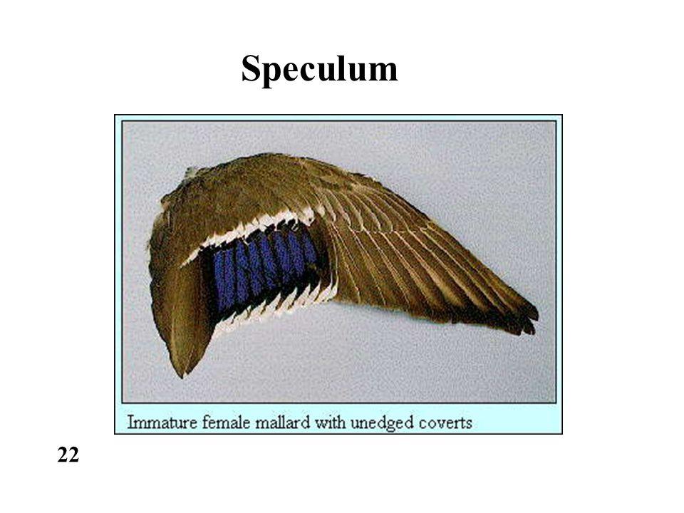 Speculum 22