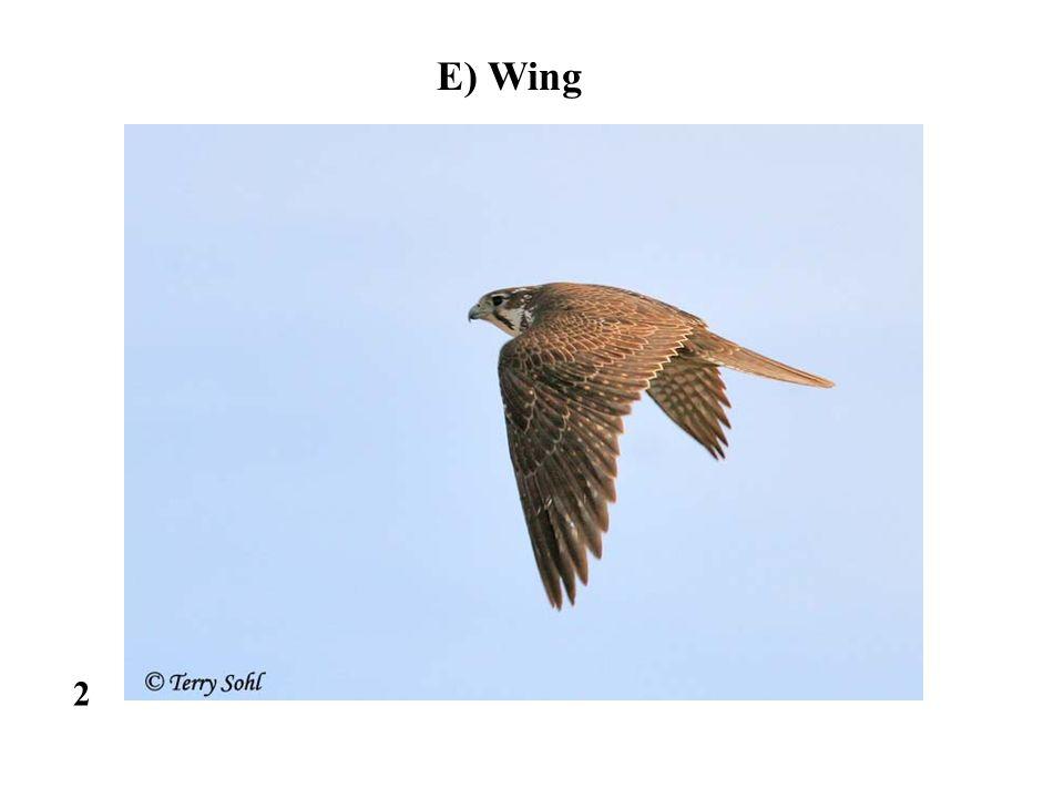 2 E) Wing