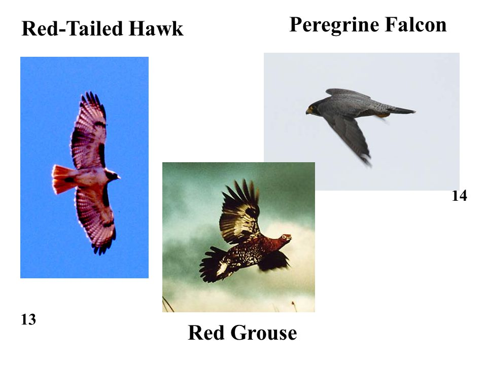 13 14 Red-Tailed Hawk Peregrine Falcon Red Grouse