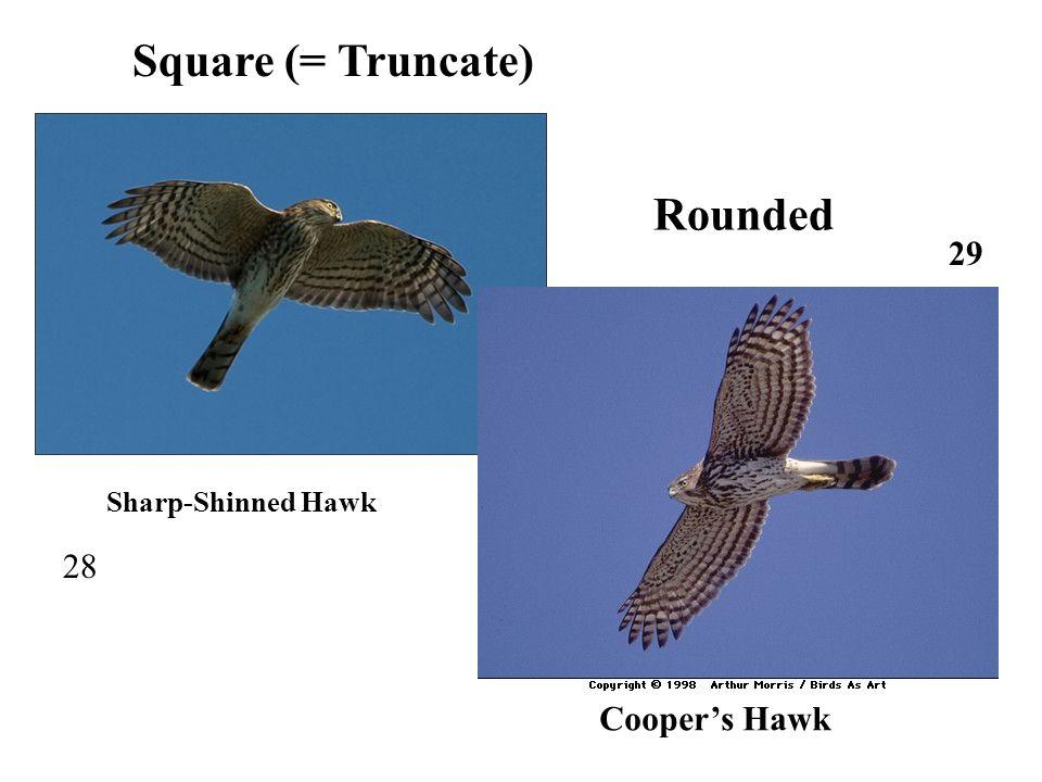28 Sharp-Shinned Hawk 29 Cooper's Hawk Square (= Truncate) Rounded