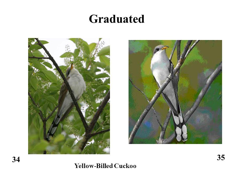 34 35 Graduated Yellow-Billed Cuckoo