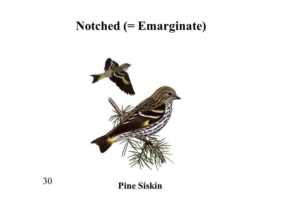 30 Notched (= Emarginate) Pine Siskin
