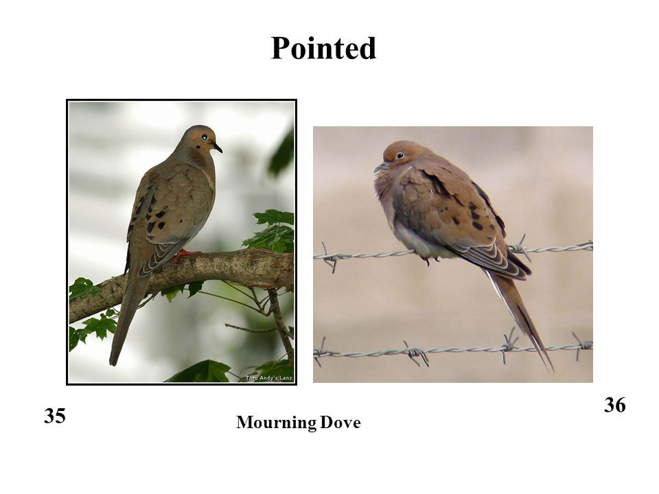 35 Pointed 36 Mourning Dove