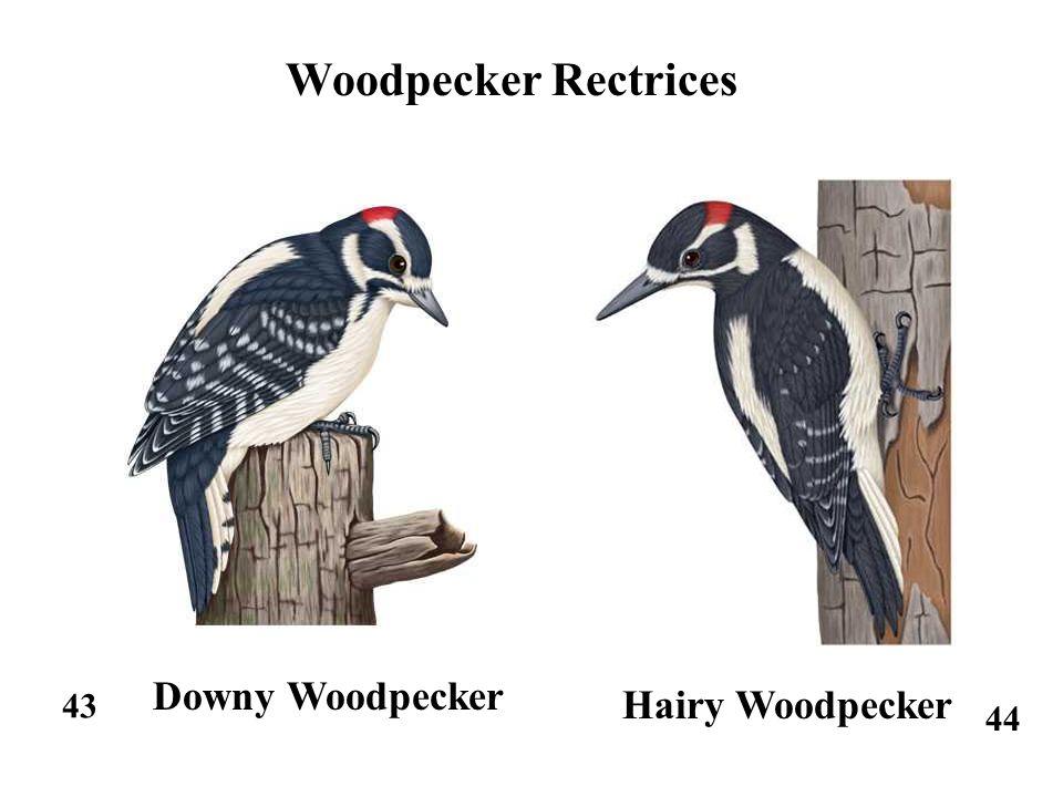 43 44 Woodpecker Rectrices Downy Woodpecker Hairy Woodpecker