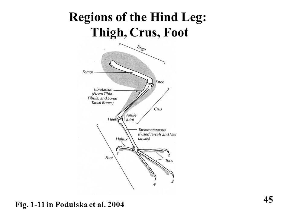 Regions of the Hind Leg: Thigh, Crus, Foot Fig. 1-11 in Podulska et al. 2004 45