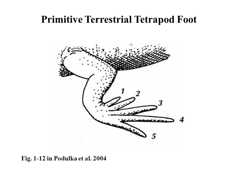 Primitive Terrestrial Tetrapod Foot Fig. 1-12 in Podulka et al. 2004