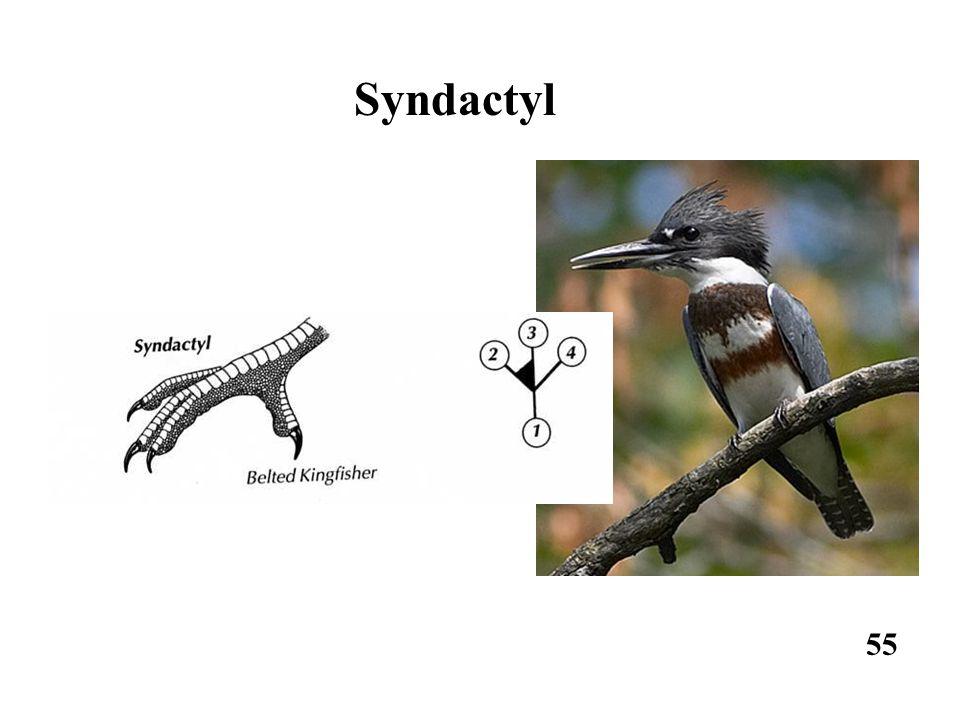 55 Syndactyl