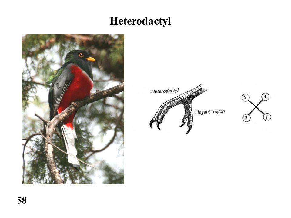 58 Heterodactyl