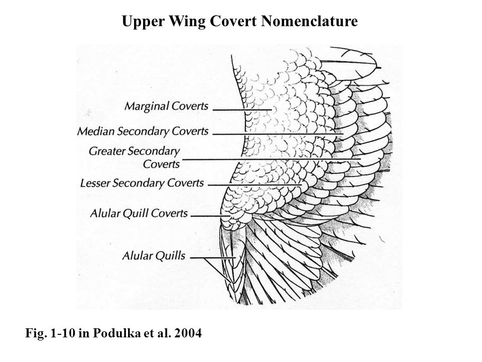 Upper Wing Covert Nomenclature Fig. 1-10 in Podulka et al. 2004