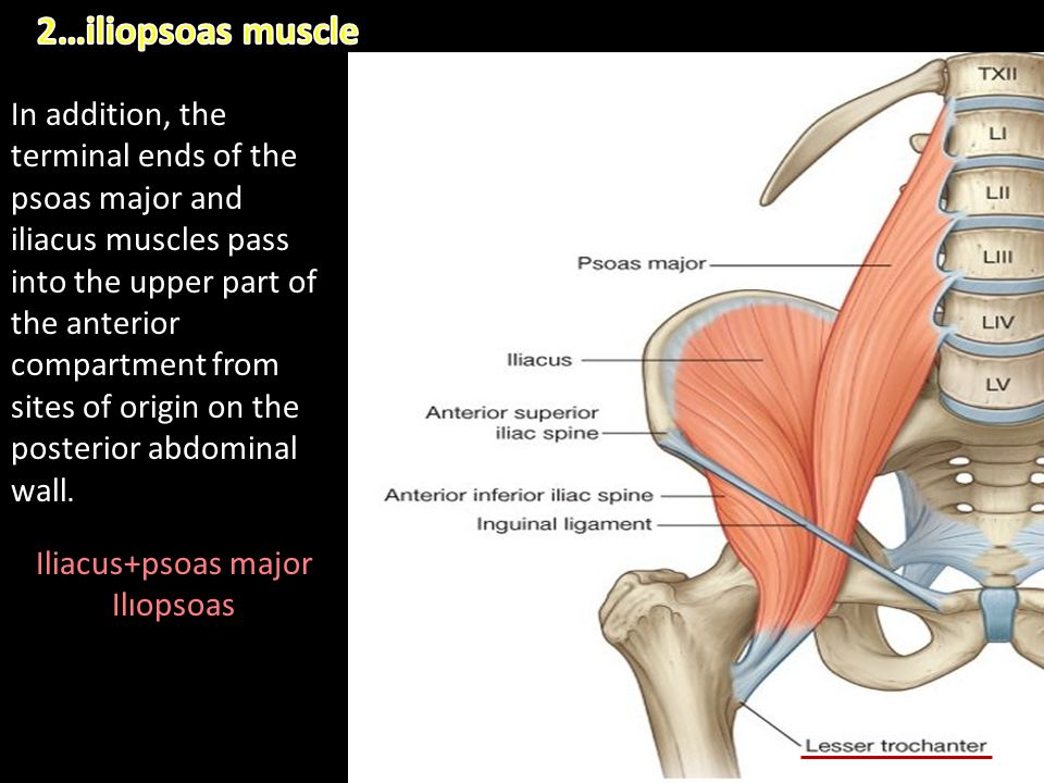 In addition, the terminal ends of the psoas major and iliacus muscles pass into the upper part of the anterior compartment from sites of origin on the
