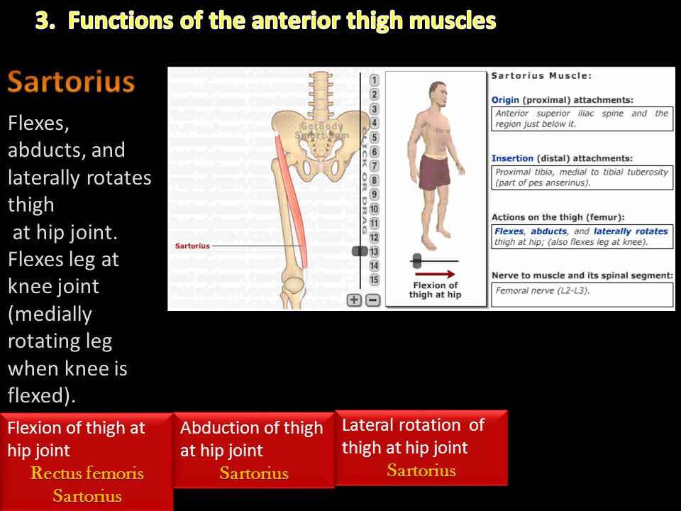 Flexes, abducts, and laterally rotates thigh at hip joint. Flexes leg at knee joint (medially rotating leg when knee is flexed). Flexion of thigh at h