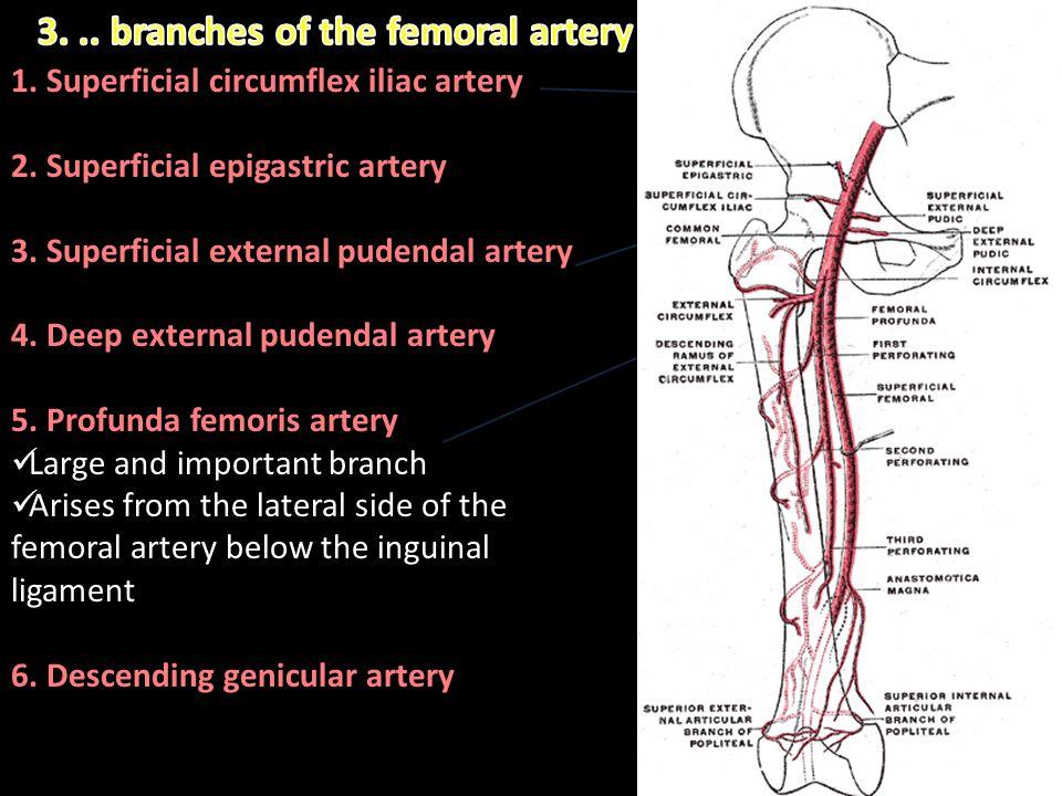 1. Superficial circumflex iliac artery 2. Superficial epigastric artery 3. Superficial external pudendal artery 4. Deep external pudendal artery 5. Pr