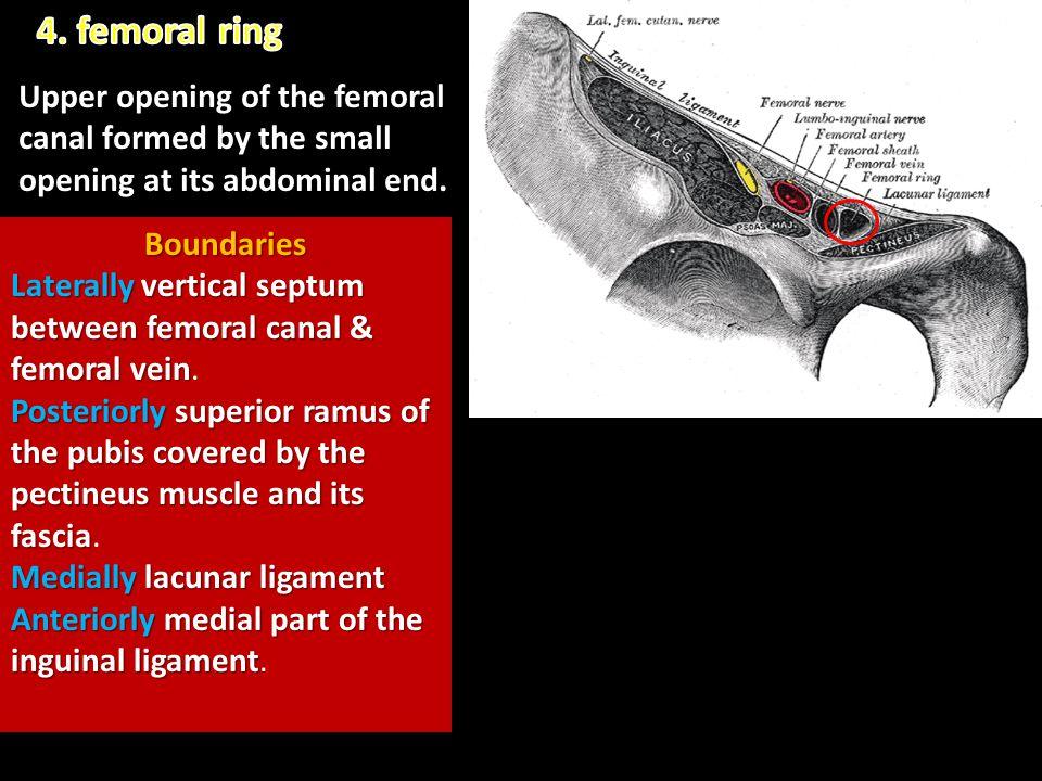 Boundaries Laterallyvertical septum between femoral canal & femoral vein Laterally vertical septum between femoral canal & femoral vein. Posteriorlysu