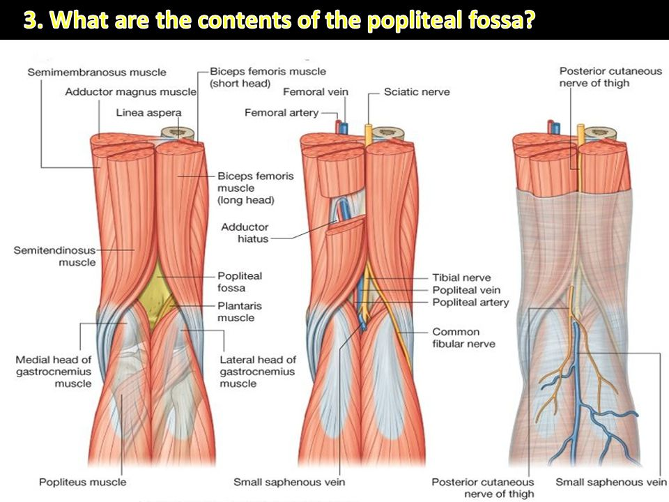 1)Termination of the small saphenous vein 2)Popliteal arteries and veins and their branches and tributaries 3)Tibial and common fibular nerves 4)Poste