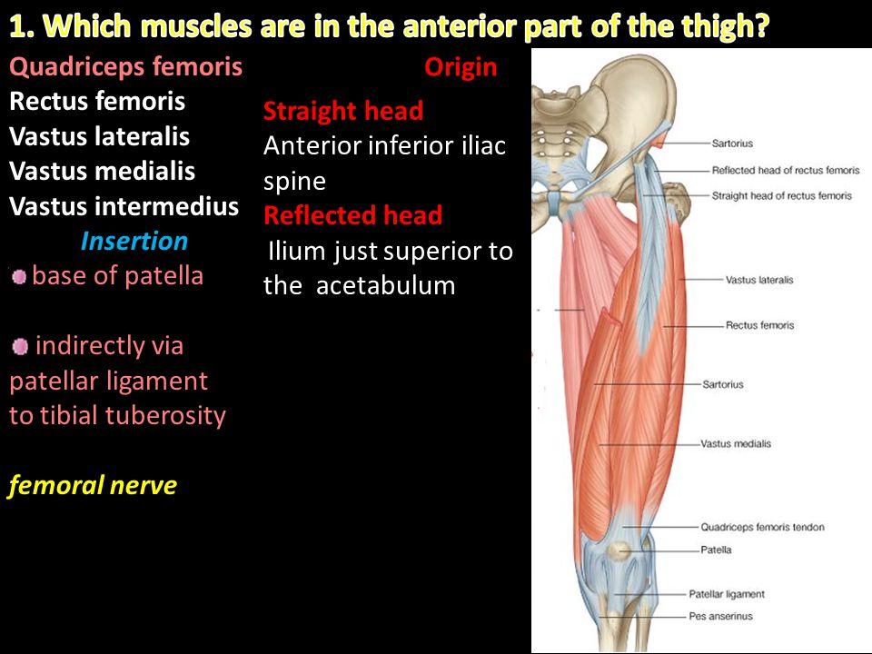 Quadriceps femoris Rectus femoris Vastus lateralis Vastus medialis Vastus intermedius Insertion base of patella indirectly via patellar ligament to ti