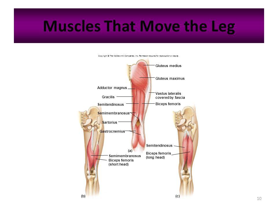 10 Muscles That Move the Leg Adductor magnus Gracilis Semitendinosus Semimembranosus Sartorius Gastrocnemius Gluteus medius Gluteus maximus Biceps fem