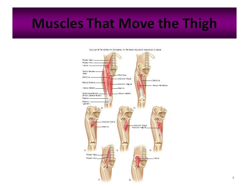 4 Muscles That Move the Thigh Copyright © The McGraw-Hill Companies, Inc. Permission required for reproduction or display. Psoas major Psoas minor Ili