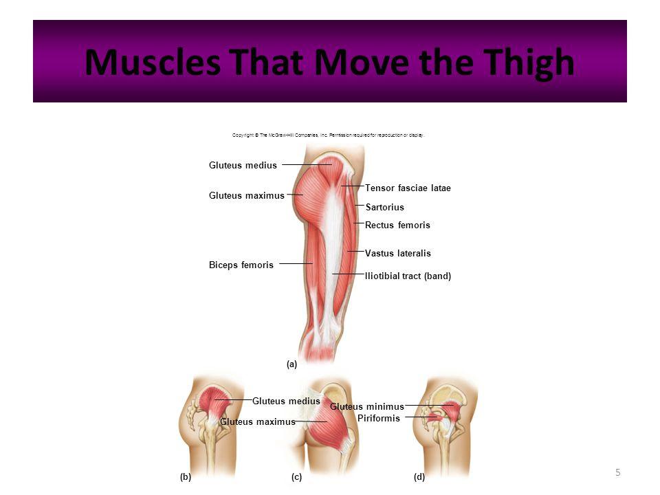 5 Muscles That Move the Thigh Gluteus medius Gluteus maximus Biceps femoris Iliotibial tract (band) Vastus lateralis Rectus femoris Sartorius Tensor f