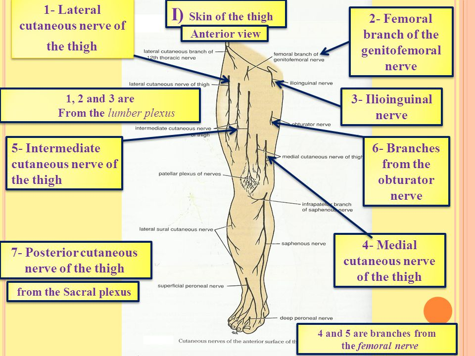 Ι) Skin of the thigh 1- Lateral cutaneous nerve of the thigh 7- Posterior cutaneous nerve of the thigh 4- Medial cutaneous nerve of the thigh 6- Branches from the obturator nerve 5- Intermediate cutaneous nerve of the thigh from the Sacral plexus 1, 2 and 3 are From the lumber plexus 1, 2 and 3 are From the lumber plexus 4 and 5 are branches from the femoral nerve 4 and 5 are branches from the femoral nerve 3- Ilioinguinal nerve 2- Femoral branch of the genitofemoral nerve Anterior view