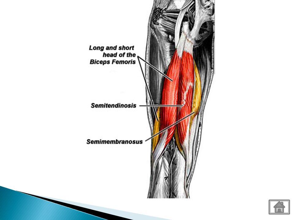 NameOriginInsertionPrimary Action Vastus Medialis FemurTibial Tuberosity via patellar ligament Extend knee Vastus lateralis FemurTibial Tuberosity via patellar ligament Extend knee Rectus Femoris PelvisTibial Tuberosity via patellar ligament Extend knee and flexes hip on thigh