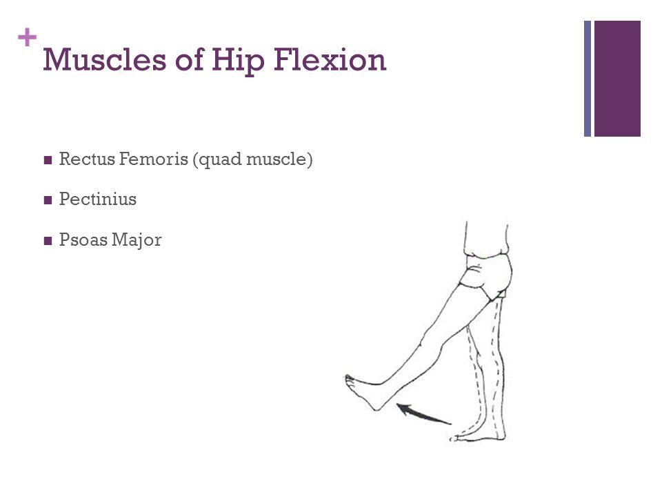 + Muscles of Hip Extension Gluteus Maximus Hamstrings Semimembranosus Semitendinosus Biceps Femoris