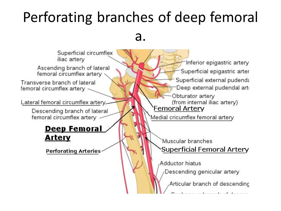 Perforating branches of deep femoral a.