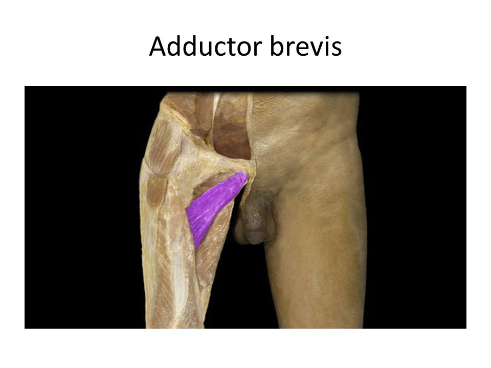 Adductor brevis