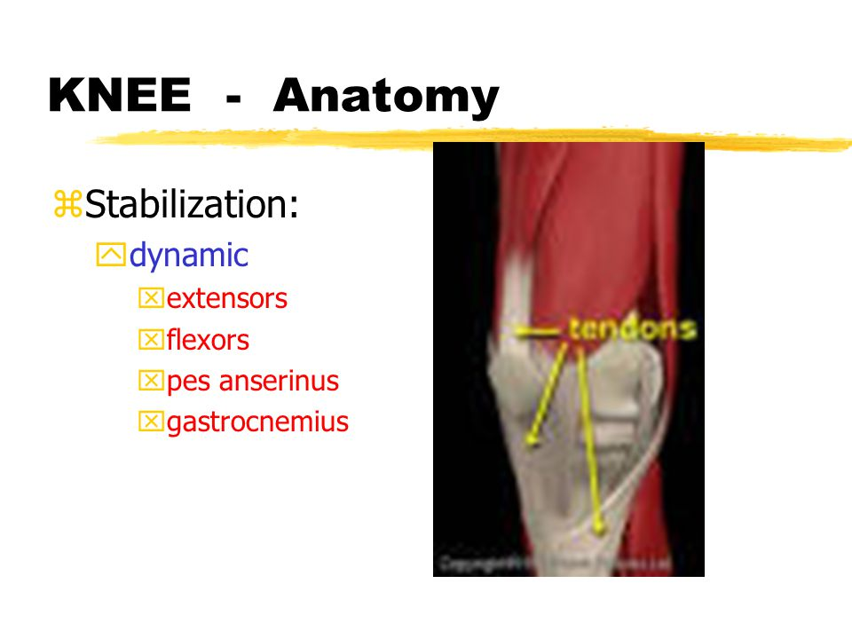 KNEE - Anatomy zStabilization: yBoney - none ystatic : xcollaterals xcruciates xjoint capsule