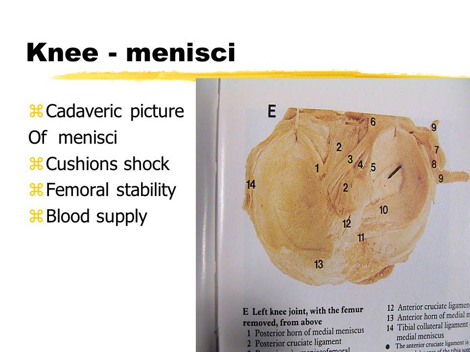 KNEE - Anatomy zStabilization: ydynamic xextensors xflexors xpes anserinus xgastrocnemius