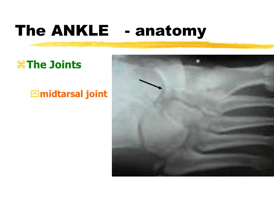 The ANKLE - anatomy zThe Joints ysubtalar joint,