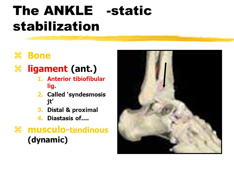 The ANKLE -static stabilization zBone zligament (medial) 1.Deltoid lig.