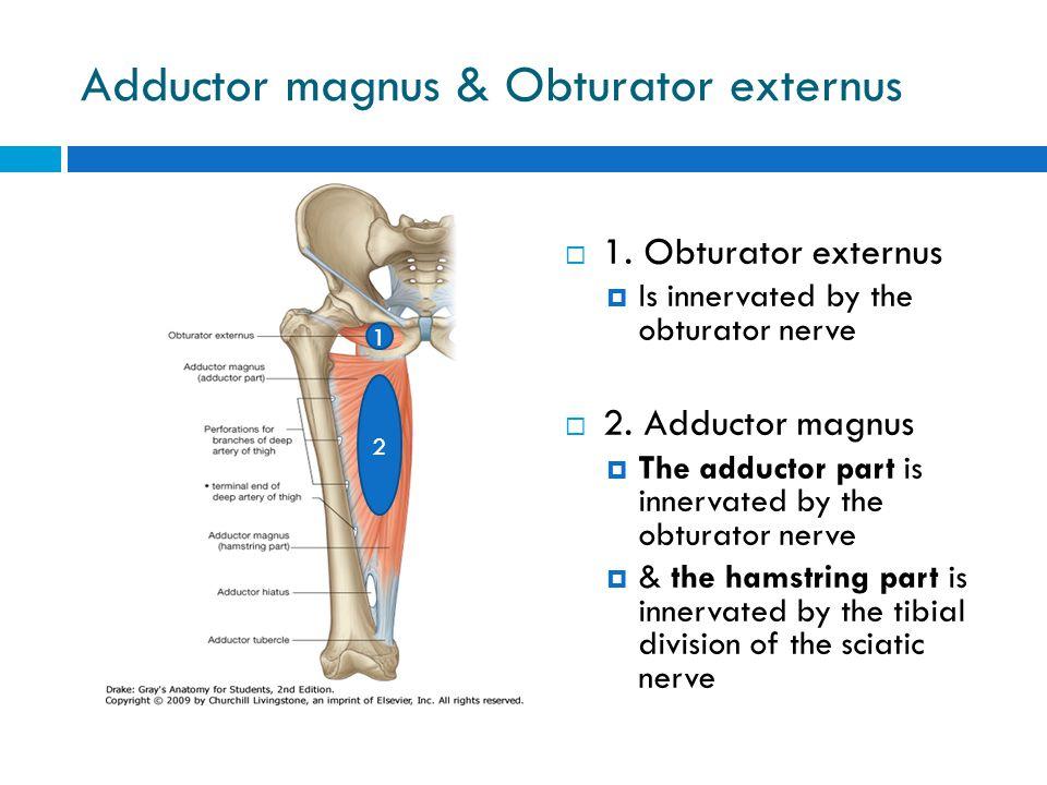 Adductor magnus & Obturator externus  1. Obturator externus  Is innervated by the obturator nerve  2. Adductor magnus  The adductor part is innerv