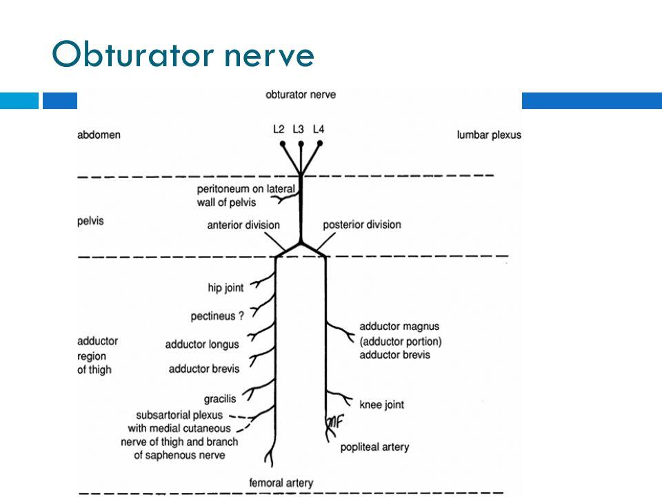 Obturator nerve