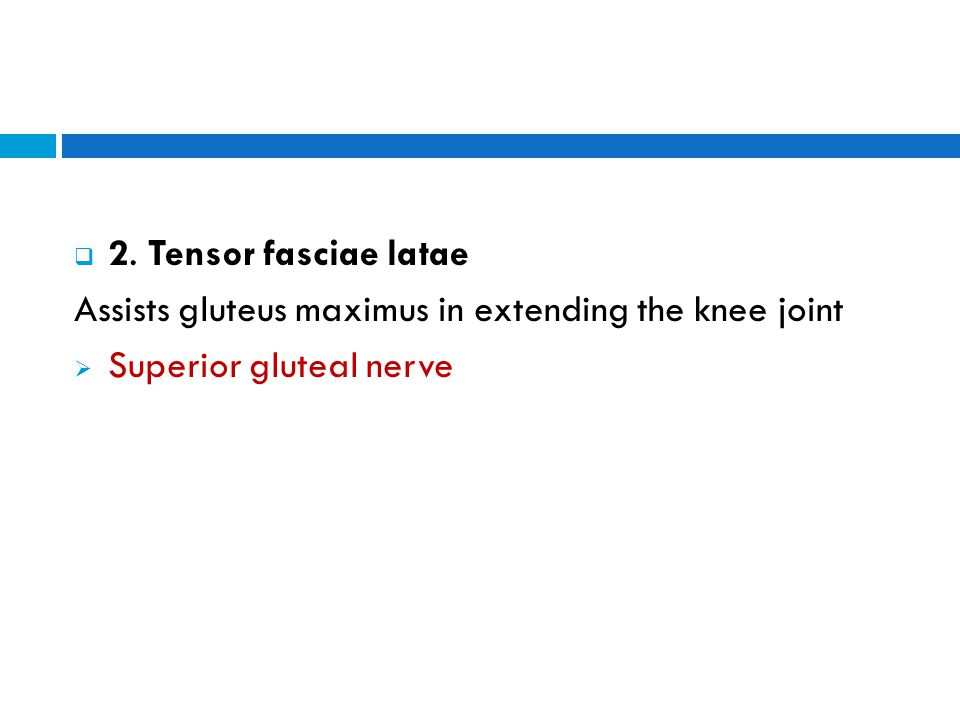  2. Tensor fasciae latae Assists gluteus maximus in extending the knee joint  Superior gluteal nerve