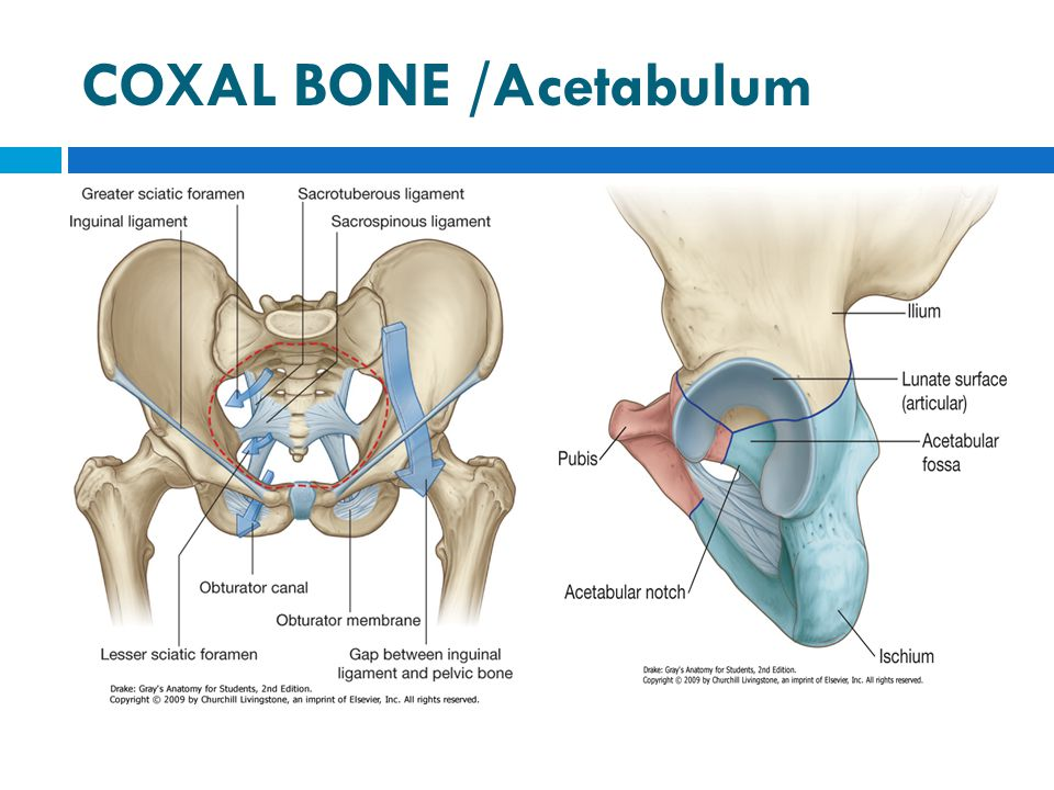 The femoral triangle is bounded  Superiorly :Inguinal ligament that forms the base of the femoral triangle.