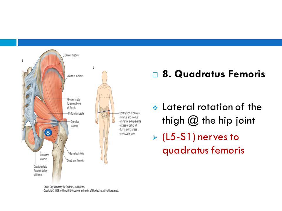  8. Quadratus Femoris  Lateral rotation of the thigh @ the hip joint  (L5-S1) nerves to quadratus femoris 8