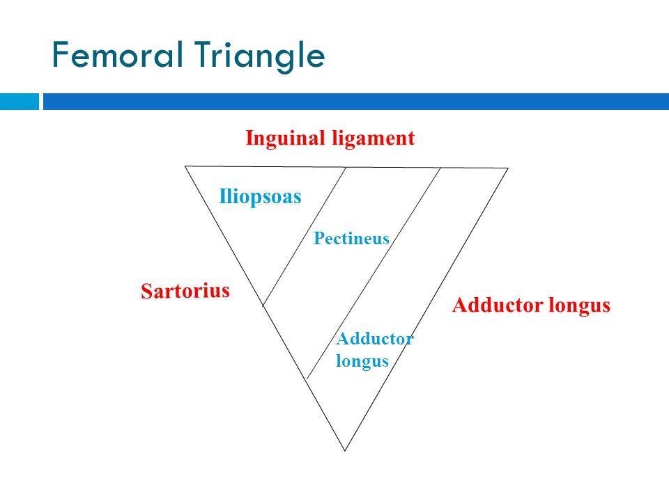 Femoral Triangle Inguinal ligament Sartorius Adductor longus Iliopsoas Pectineus Adductor longus