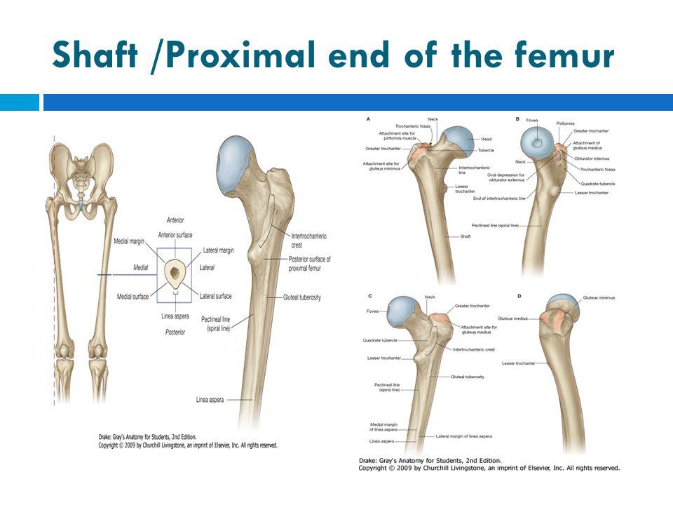 Shaft /Proximal end of the femur