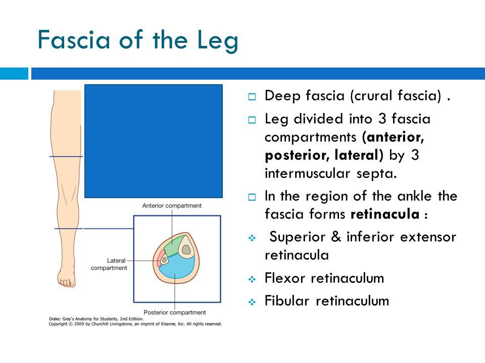 Fascia of the Leg  Deep fascia (crural fascia).  Leg divided into 3 fascia compartments (anterior, posterior, lateral) by 3 intermuscular septa.  I