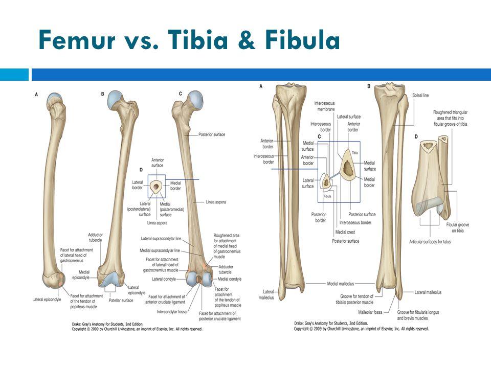 Femur vs. Tibia & Fibula