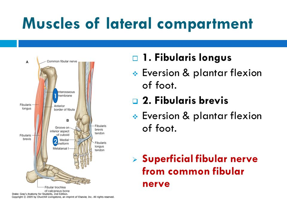 Muscles of lateral compartment  1. Fibularis longus  Eversion & plantar flexion of foot.  2. Fibularis brevis  Eversion & plantar flexion of foot.