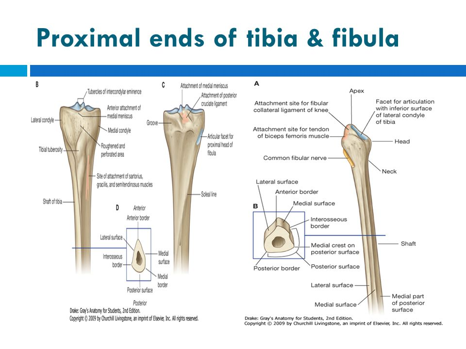 Tibia & Fibula/ posteromedial view of distal ends.