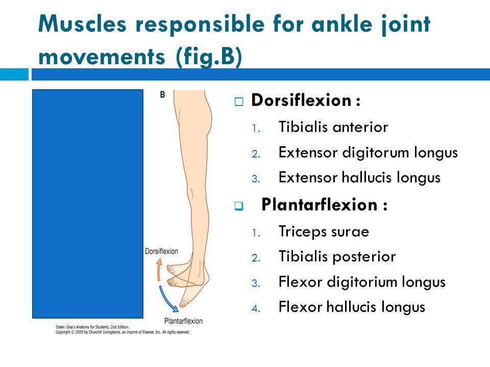 Muscles responsible for ankle joint movements (fig.B)  Dorsiflexion : 1. Tibialis anterior 2. Extensor digitorum longus 3. Extensor hallucis longus 