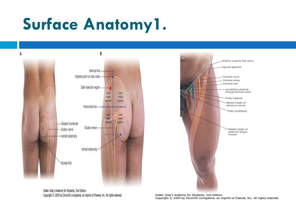 Surface Anatomy1.