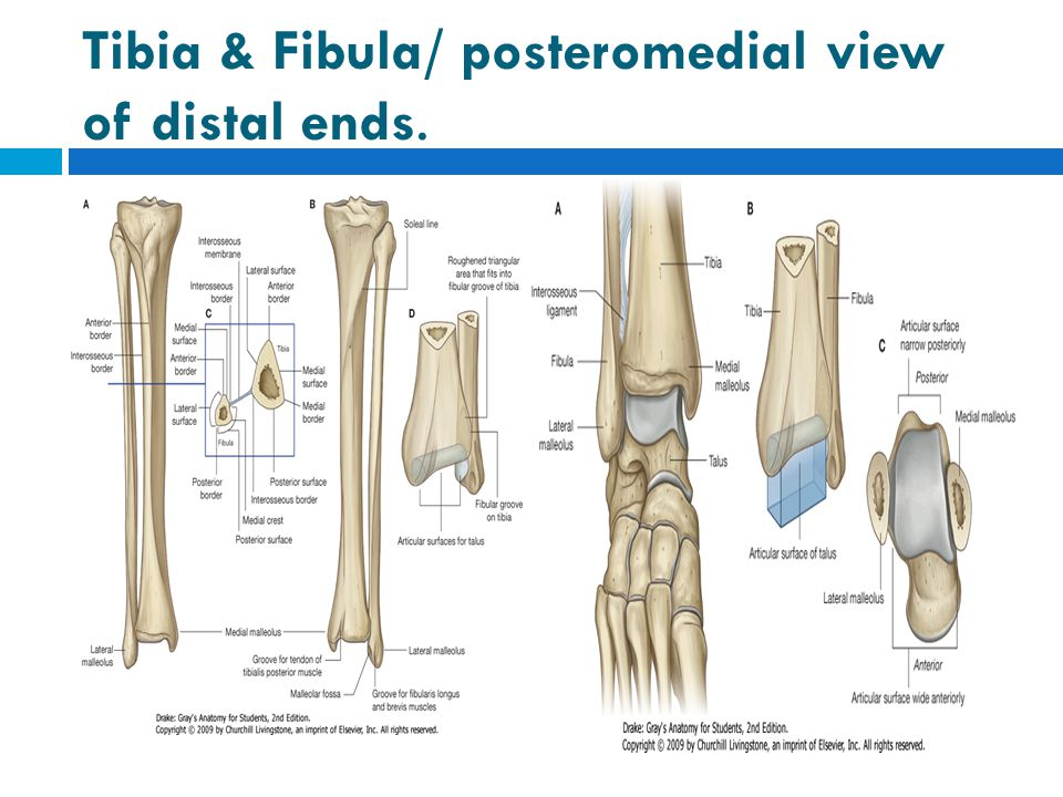 Review Questions.2  6.The strongest dorsiflexor of the foot is which of the following muscles.