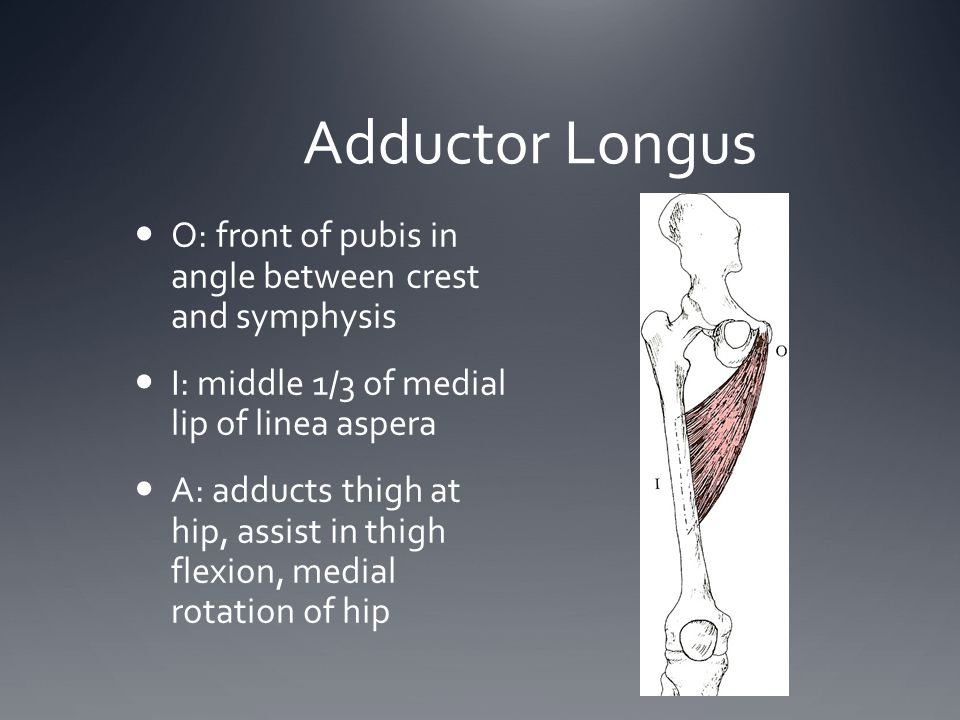 Adductor Longus O: front of pubis in angle between crest and symphysis I: middle 1/3 of medial lip of linea aspera A: adducts thigh at hip, assist in