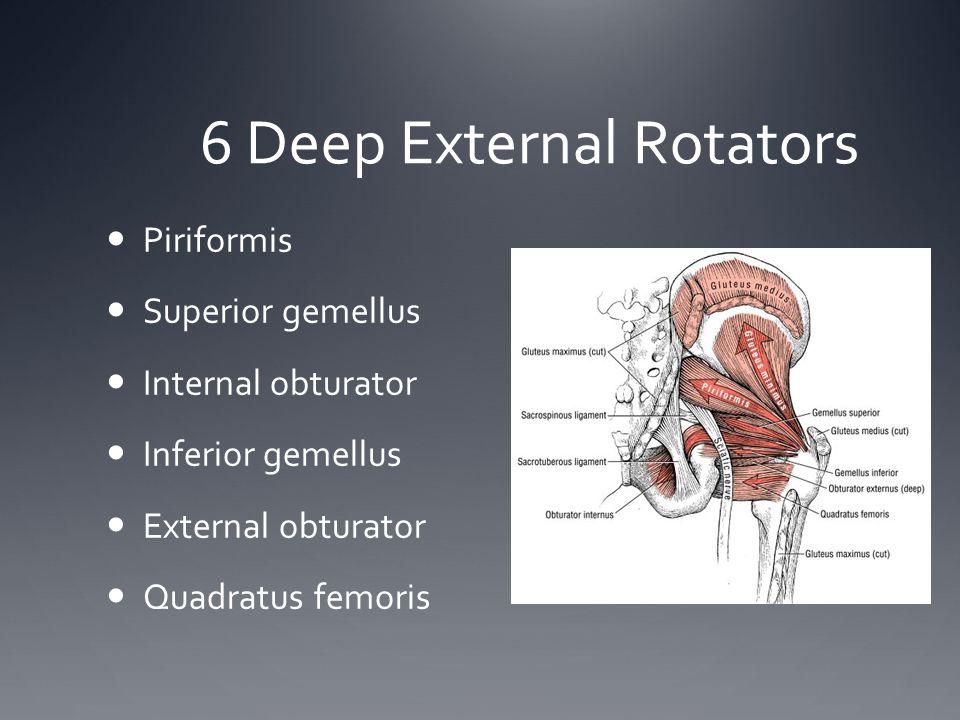 6 Deep External Rotators Piriformis Superior gemellus Internal obturator Inferior gemellus External obturator Quadratus femoris