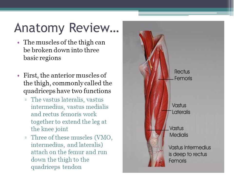 Anatomy Review… The rectus femoris attaches on the hip bone at the anterior inferior iliac spine and runs down the leg to the quadriceps tendon The other muscle in the anterior portion of the thigh is the satorius ▫It also attaches on the hip bone and runs somewhat diagonally down the thigh to the anterior medial portion of the tibial condyle ▫This muscle is responsible for flexing, abduction, and lateral rotating the thigh at the hip