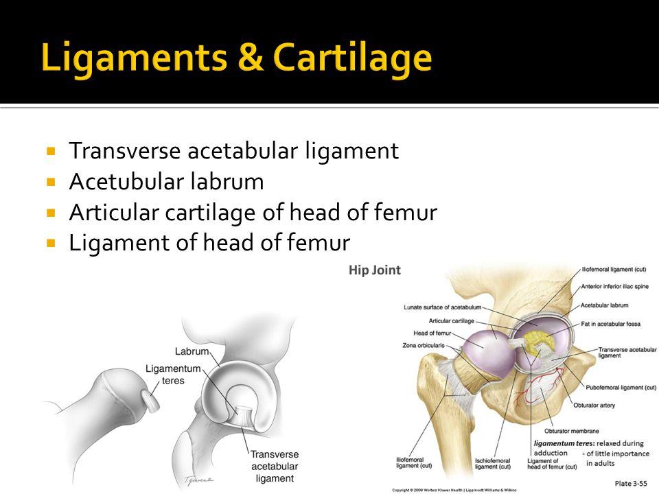  Transverse acetabular ligament  Acetubular labrum  Articular cartilage of head of femur  Ligament of head of femur