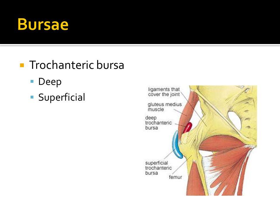  Trochanteric bursa  Deep  Superficial